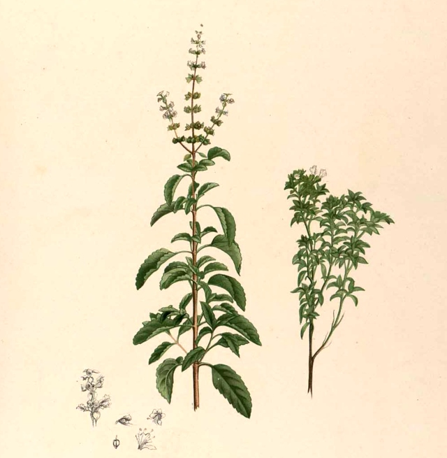 Ocimum_sp_Blanco2.257-original
